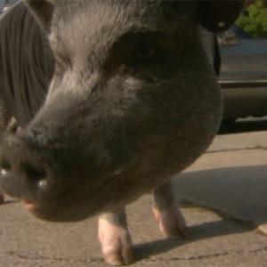 Feds finally take on phony comfort animal documentation